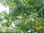 2012桐花祭已正式開展囉(0414)