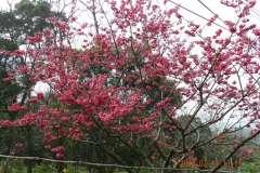 2012櫻花季